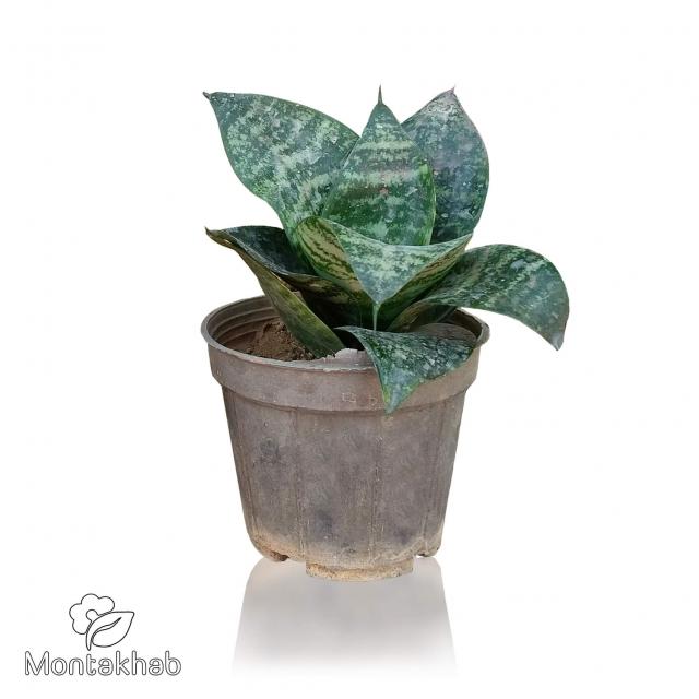 گیاه سانسوریا پا کوتاه سایز 12