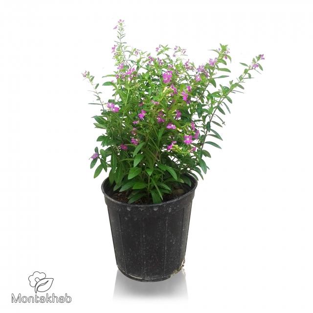 گیاه لافسونیا سایز 14