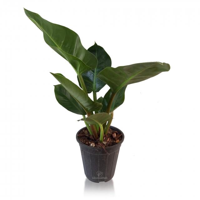 گیاه آپارتمانی فیلودندرون سبز ارتفاع 55 سانتی متر