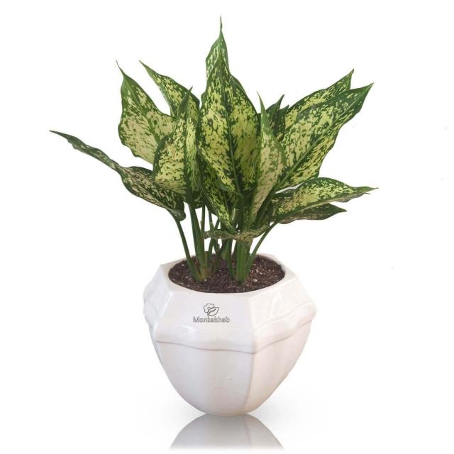 گیاه آپارتمانی آگلونما در گلدان سرامیکی ارتفاع 35 سانتی متر