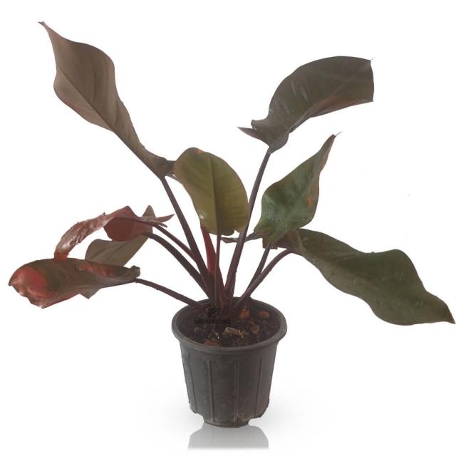 گیاه آپارتمانی فیلودندرون قهوه ای ارتفاع 40 سانتی متر