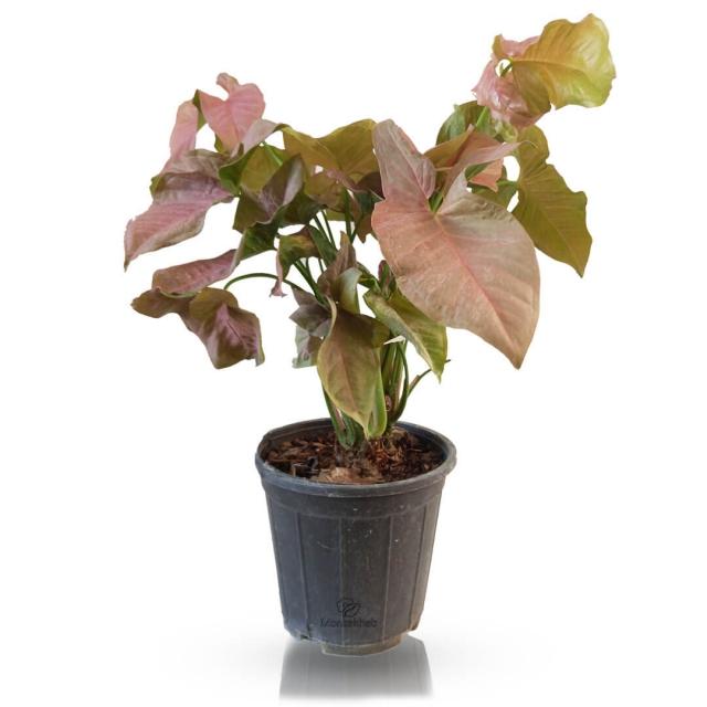 گیاه آپارتمانی سینگونیوم صورتی ارتفاع 50 سانتی متر
