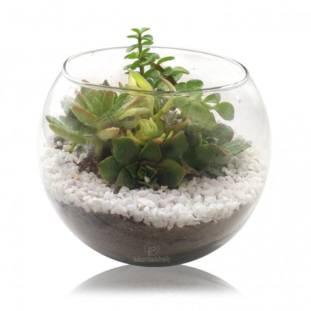تراریوم ساکولنت در گلدان شیشه ای ساده ارتفاع 15 سانتیمتر
