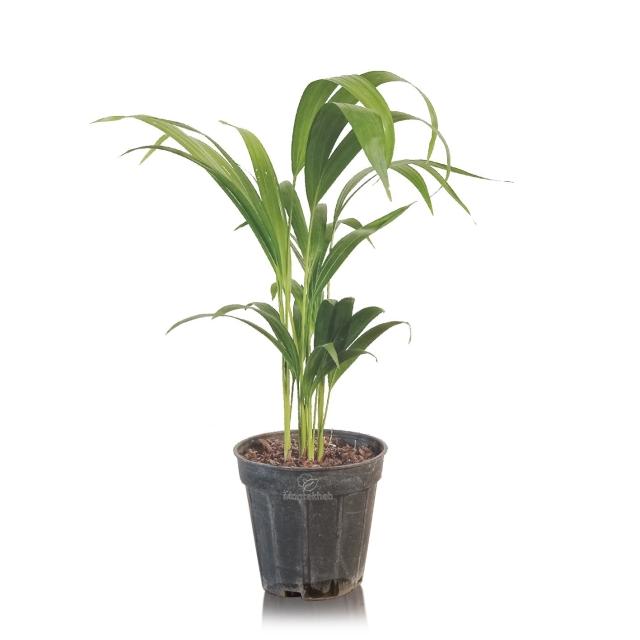 گیاه آپارتمانی اریکا ارتفاع 40 سانتی متر