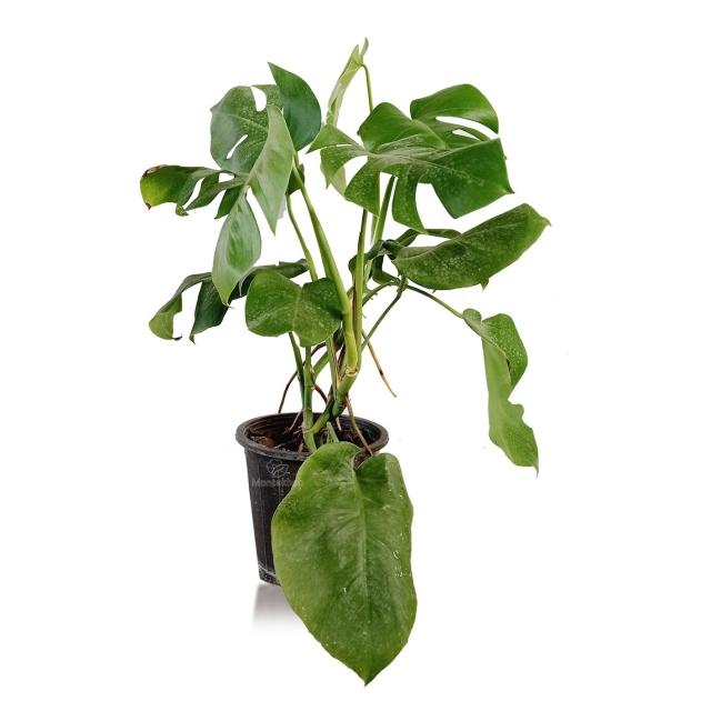 گیاه آپارتمانی برگ انجیری مانسترا ارتفاع 60 سانتی متر