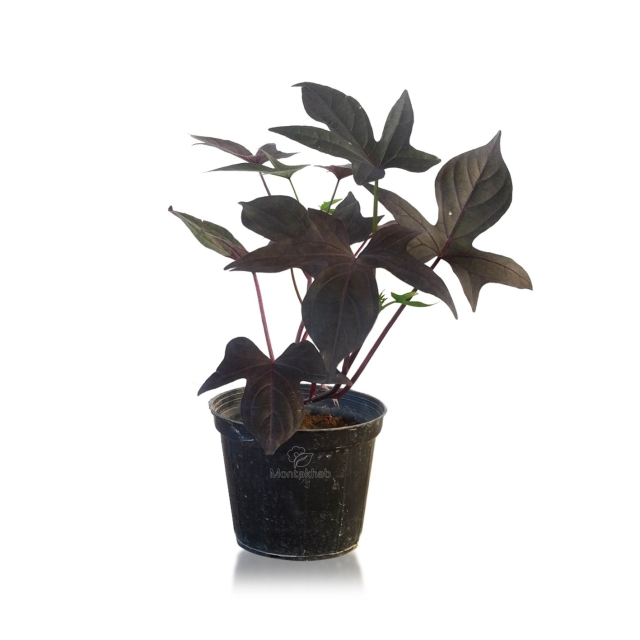 گیاه آپارتمانی ایپومیا بنفش ارتفاع 30 سانتی متر