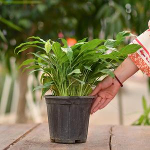 گیاه آپارتمانی اسپاتی فیلوم ارتفاع 40 سانتی متر