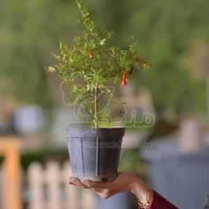 گیاه انار زینتی ارتفاع 28 سانتی متر