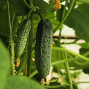 cucumber-growing-on-a-branch-of-a-plant-in-a-greenhouse-cucumber-growing-in-garden-young-cucumber-in-the-garden_sdwbh53w__F0000 (1)