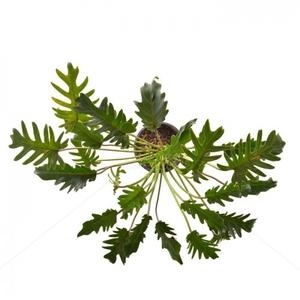 برگ انجیری