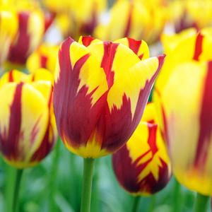tulipa-tulipa-holland-queenr-49b-500×500