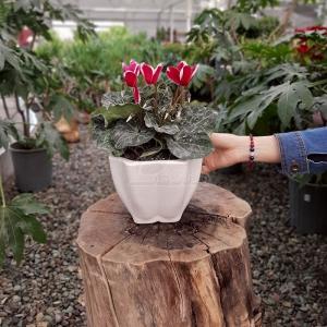 گیاه آپارتمانی سیکلامن در گلدان سرامیکی هشت ضلعی ارتفاع 30 سانتی متر