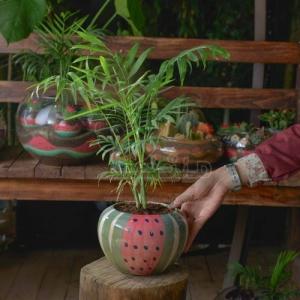 گیاه شامادورا در گلدان سفالی طرح هندوانه ارتفاع 50 سانت