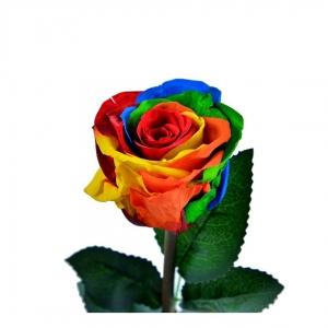 رز جاودان هفت رنگ طرح دیو و دلبر ارتفاع 30 سانتیمتر