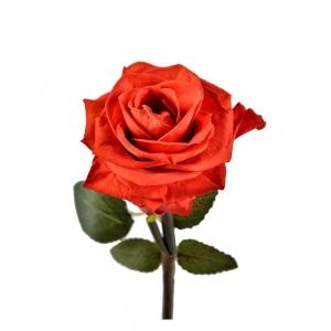 رز جاودان قرمز طرح دیو و دلبر ارتفاع 30 سانتیمتر