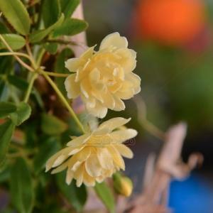 گل آبشار طلایی سایز 17