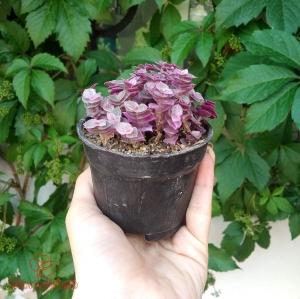 گیاه برگ بیدی مینیاتوری (کالیسیا) سایز 8