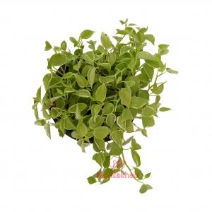 گیاه پپرومیا رونده سایز 16