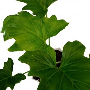 برگ انجیری در گلدان پلاستیکی طرح لوزی