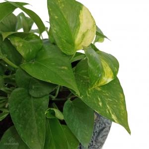 پتوس سبز در گلدان سفالی مشکی طرح دار