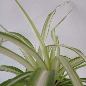 گیاه گندمی در گلدان پلاستیکی ارتفاع 22 سانتی متر