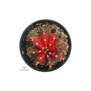 کاکتوس کمیاب ژمینو میهانویچی قرمز