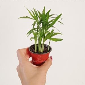 گیاه آپارتمانی شامادورا ارتفاع 10 سانت