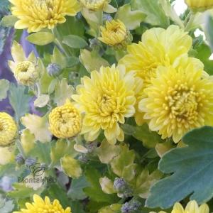 گل داوودی زرد