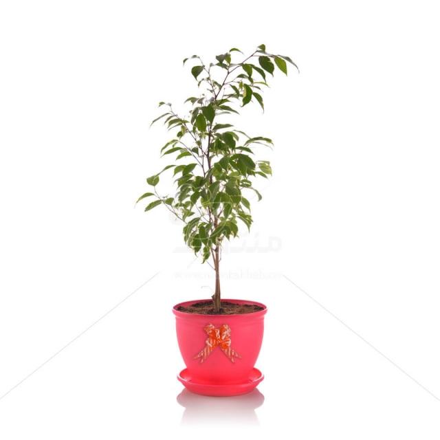 گیاه آپارتمانی بنجامین ابلق در گلدان شهر آذین مدل 3025