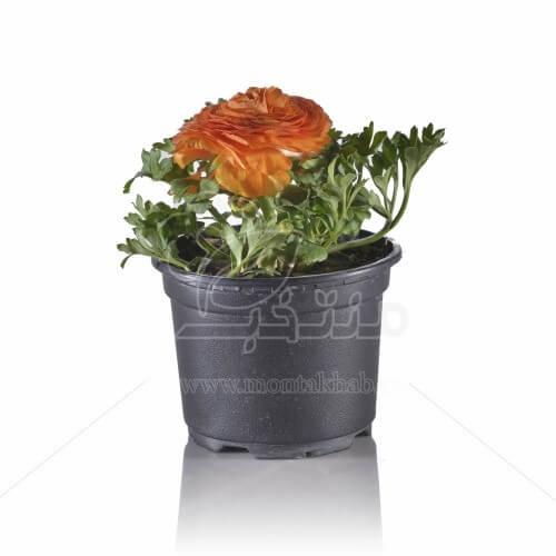 گل آنمان 17 سانتی