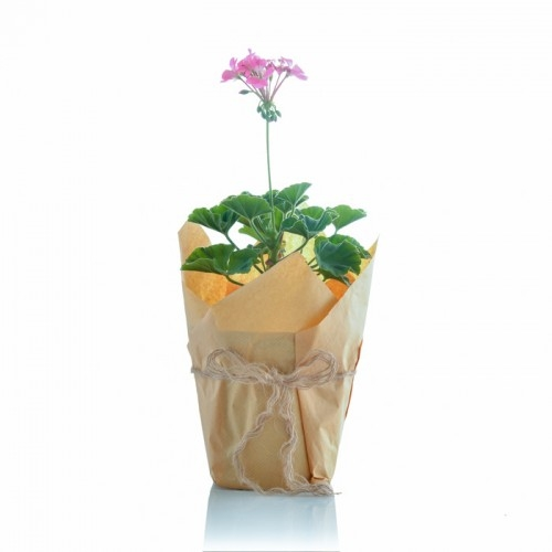 گل شمعدانی ارتفاع 38 سانتی متر