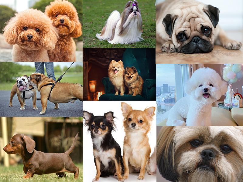 معرفی سگ های برتر آپارتمانی