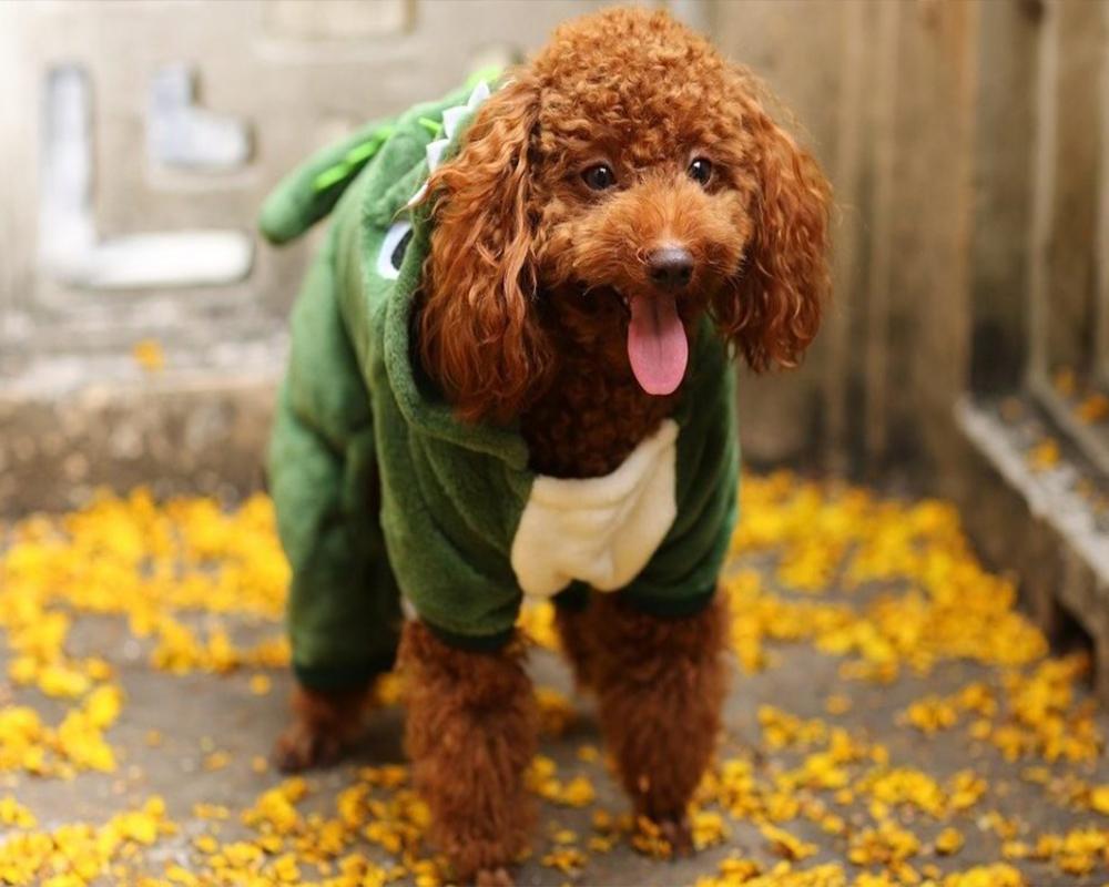 سگ خانگی مو فرفری