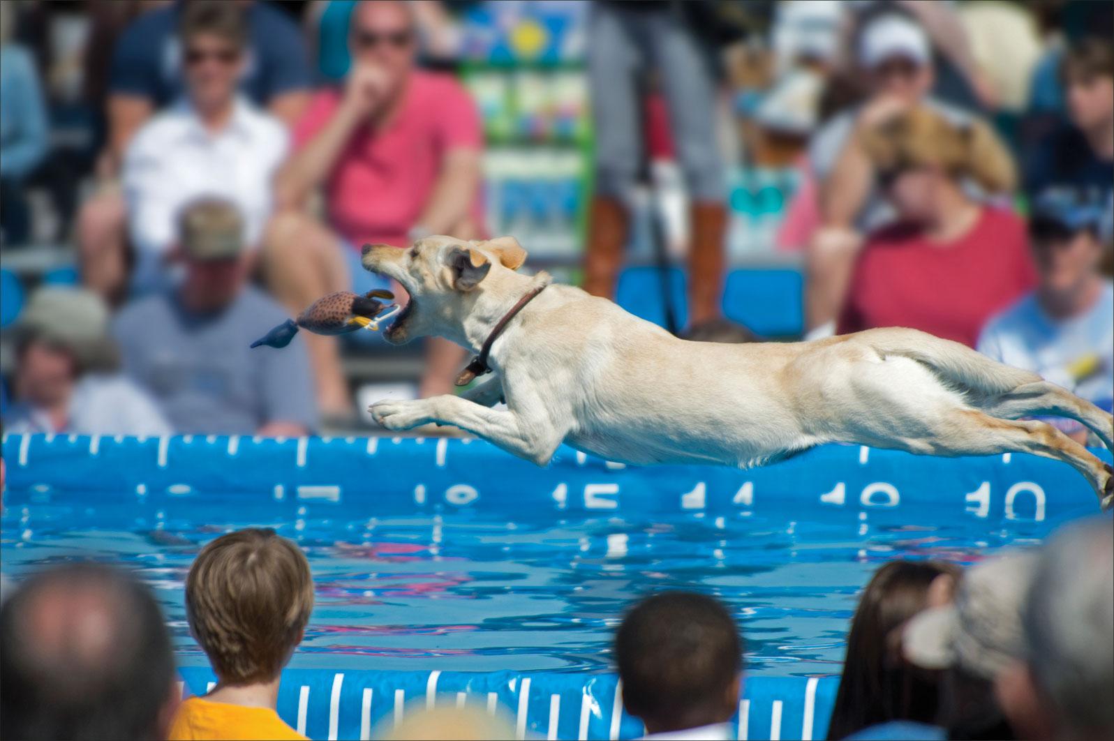 عکس شنای سگ