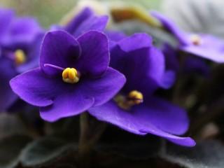 گل بنفشه و خواص آن