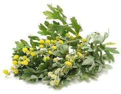 افسنطین گیاهی با خواص شگفت انگیز