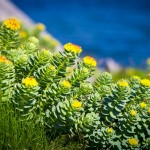 خواص درمانی «ریشه طلایی»
