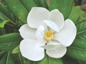 درباره گل مگنولیا Magnolia بیشتر بدانیم