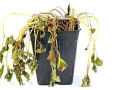 چرا سرما باعث از بین رفتن گیاه می شود؟