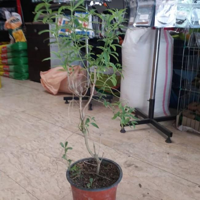 گیاه دارویی به لیمو گلدانی