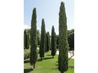 بذر درخت سرو شیرازی