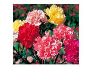 بذر گل میخک 4500