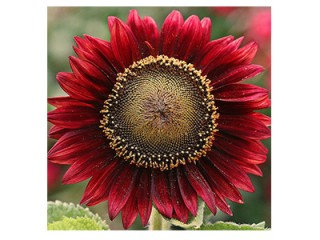 بذر گل آفتابگردان قرمز 1118