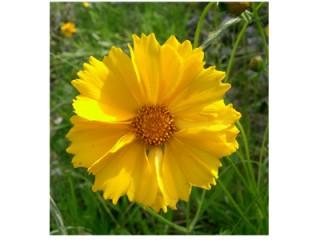 بذر گل کورئوپسیس پامتوسط پرگل زرد رنگ