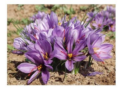 پیاز گل زعفران قائنات  بسته 10 عددی