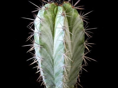 بذر کاکتوس پایه نقره ای Polaskia chichipe بسته 15عددی