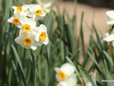 پیاز گل نرگس شیراز (معطر) 5 عددی