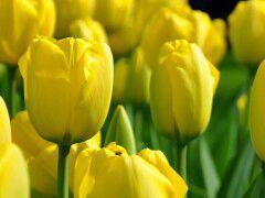 پیاز گل لاله هلندی - زرد