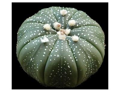 بذر کاکتوس آسترو هیبرید Astrophytum asterias hybrid