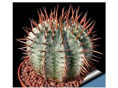 بذر کاکتوس افوربیا Euphorbia horrida